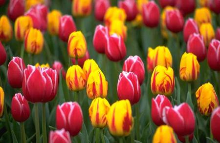 Srinagar has Asia's largest tulip garden – InstaBlog – Community ...